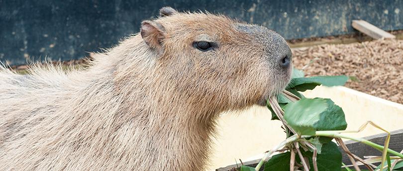 capibara4