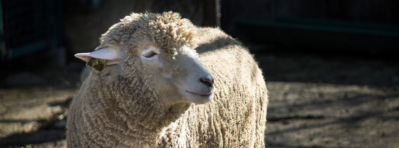 sheepsheep2015